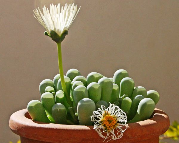 Miniature Succulent, Fenestraria Rhopalophylla, Baby Toes,