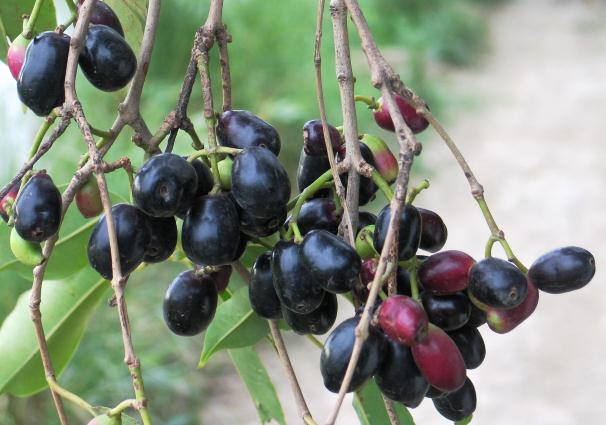 Fruit of Jamun Tree