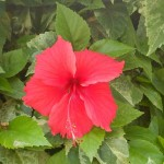 Tropical Flowering Shrub: Hibiscus