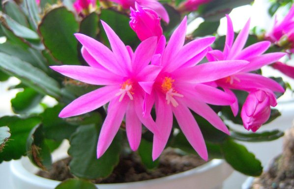 Indoor flowering plant for hanging baskets easter cactus rhipsalidopsis easter cactus mightylinksfo Image collections
