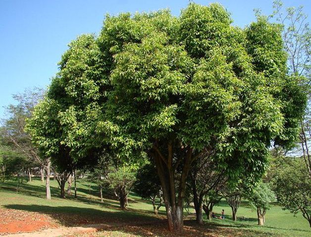 Syzygium Cumini, The Java Plum tree