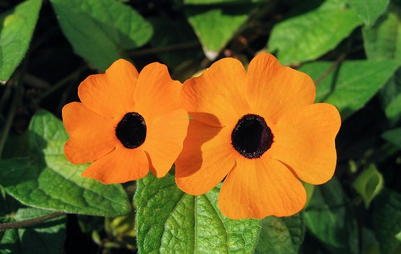 Black Eyed Susan Flowers - Thunbergia Alata