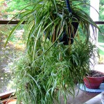 Ornamental Houseplants: Chlorophytum  Comosum, Spider Plant