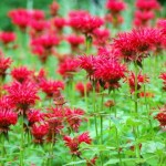 Striking, Fragrant Flowers of Monarda Didyam: Bee Balm