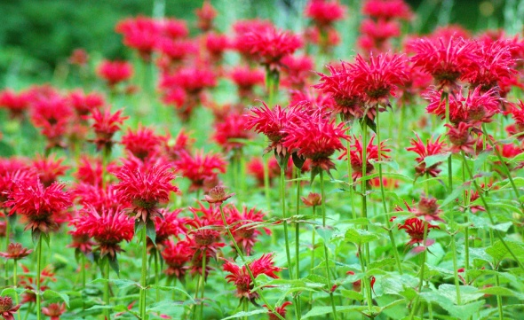 Fragrant Flowers of MonardaDidyam, Bee Balm