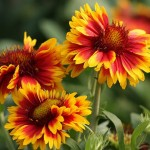 Easy to Grow Flowering Plant for Beginners: Gaillardia