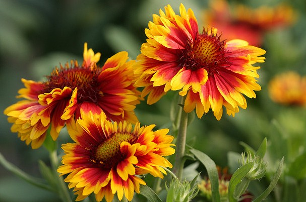 Gaillardia, Plants for Beginners