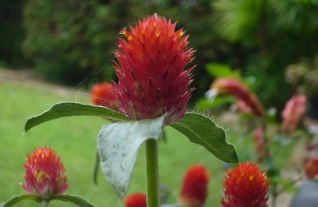 Gomphrena Globosa Flowers