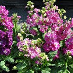 Colorful, Fragrant Flowering Plant: Matthiola Incana