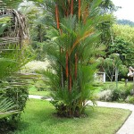 Ornamental Foliage Plant for Tropics: Lipstick Palm