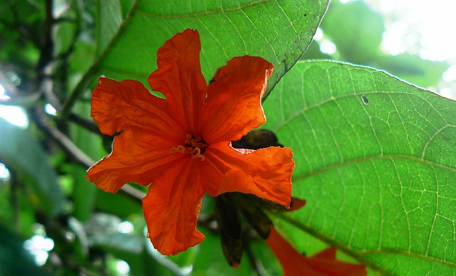 Scarlet Cordia, Tropical Ornamental Tree