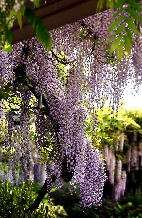 Wisteria Vine with Violet Flowers