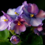 Lovely Flowering Plants for Coastal Climate: African Violets