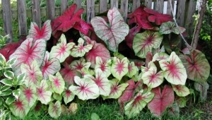Caladium, Colorful Foliage Plants