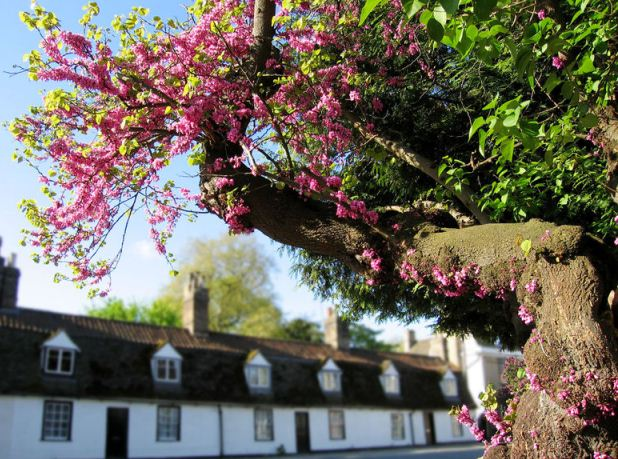 Cercis Siliquastrum, Judas Tree