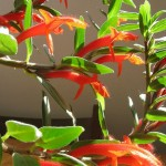 Lovely Flowering Vines for Hanging Baskets: Columnea