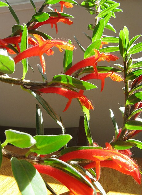 Columnea, Plant for Hanging Baskets