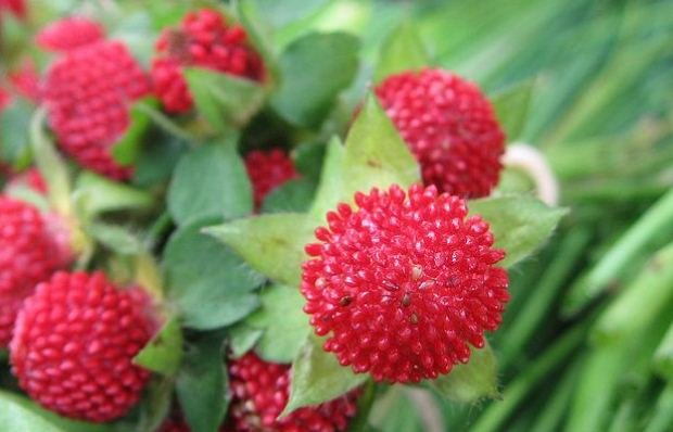 Duchesnea Indica, Mock Strawberry, Indian Strawberry