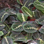 Ornamental Foliage Plant for Indoor Gardens: Maranta Leuconeura