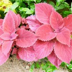 Colorful Foliage Plants for Gardens: Coleus