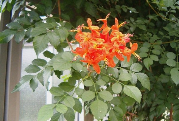 Tecoma Capensis, Flowering Shrub