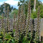 Lovely Foliage Plant for Gardens and Landscapes: Acanthus