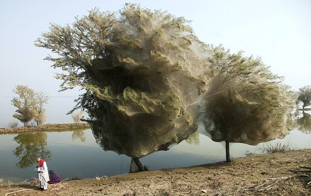 Cocooned Trees in Sindh, Pakistan