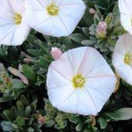 Tropical Flowering Shrubs for Poor Soil: Convolvulus Cneorum