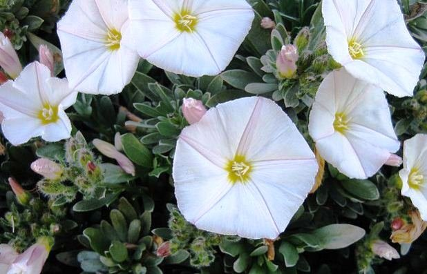 Convolvulus Cneorum, Flowering Shrub, Morning Glory