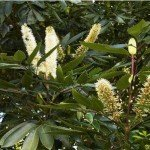 Cunonia Capensis: The Red Alder of South Africa
