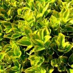 Lovely Shrubs for Your Garden: Euonymus