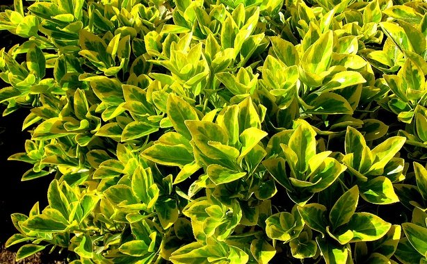 Euonymus Japonica, Evergreen Shrub