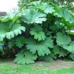 Lovely Waterside Foliage and Flowering Plant: Gunnera