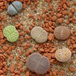 Living Stones of African Deserts: Lithops