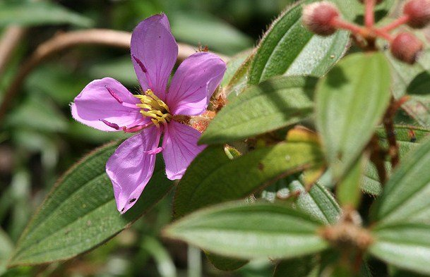 Melastoma Affine, Evergreen flowering shrub