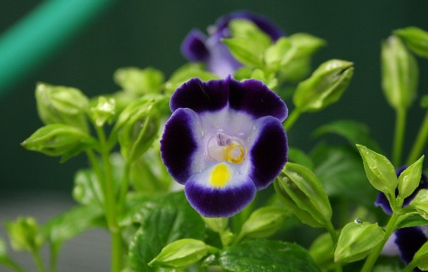 Torenia, Wishbone Flowers