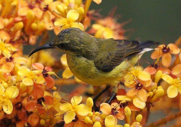 Yellow Ashoka Flowers