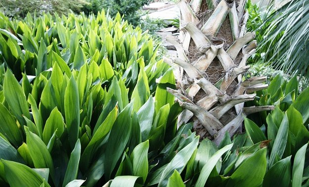 Aspidistra, The Cast Iron Plant