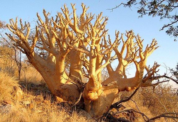 Cyphostemma Currorii, Cobas Tree