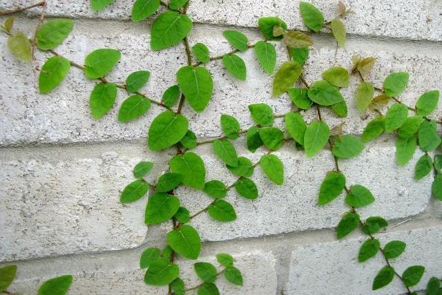 creeping fig vine