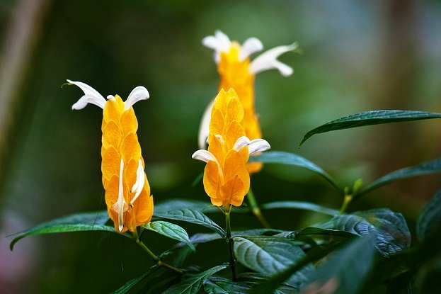Pachystachys Lutea, Lollipop Plant