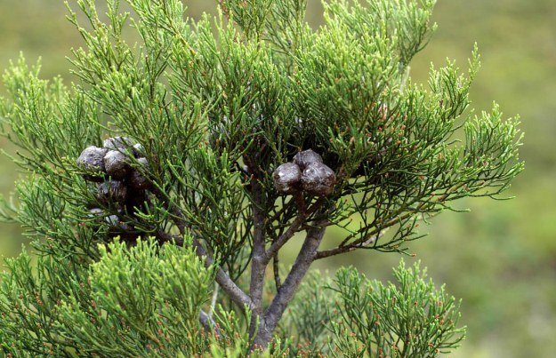Widdringtonia Nodiflora, Mountain Cypress