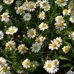 Lovely, Aromatic Plants for your Herb Garden: Camomile