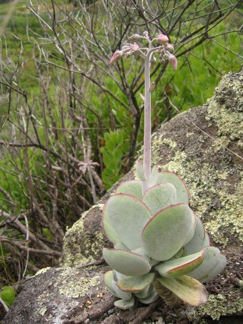 Cotyledon Orbiculata, Pig's Ear