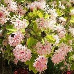 Lovely Pompon Tree for Gardens and Landscapes