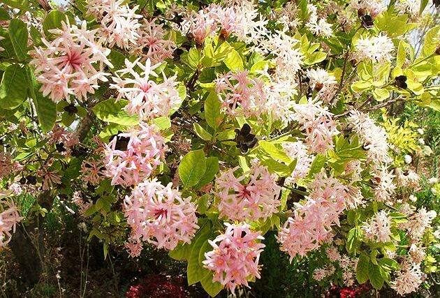 Dais Cotonifolia, Pompon Tree