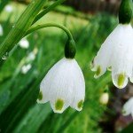 Lovely Bloomer for Cold Climate: Leucojum, Spring Snowflake