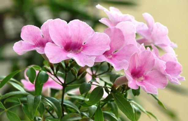 Pandorea Jasminoides, Bower Vine