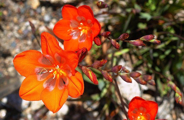 Tritonia Crocata, Flame Freesia