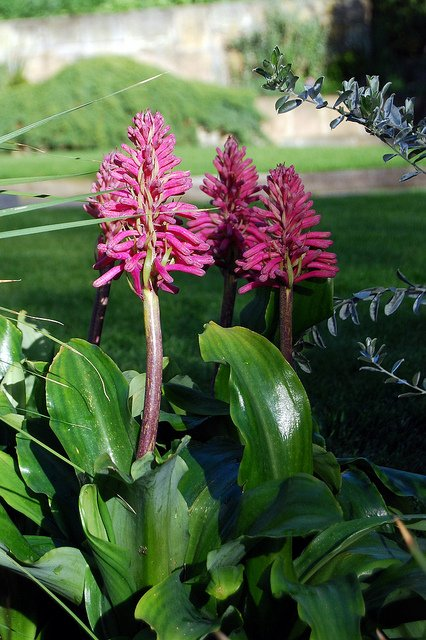 Veltheimia, Flowering Plant for Shady Garden Spots